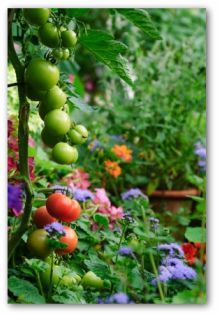 Container Garden Ideas, Container Garden Pictures and Plans.  Container Garden Plans If you want to grow your own fresh vegetables in a limited space, designing a container garden can be a great way to go. Many vegetables will grow well in containers.