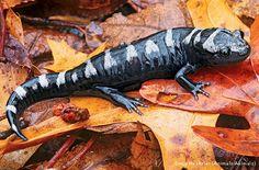 Atlanta Botanical Garden's Frog Blog: backyard amphibians