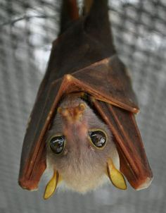 Baby bat, aww, he's cute, too. Look at those big baby eyes. And he'll grow up and eat all those pesky insects (like mosquitoes!) for us. You go, Baby Bat!