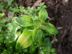 Living the Reasonably Good Life: Essential culinary herbs