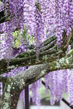 Inami Zuisen-ji Temple, Toyama, Japan #wisteria