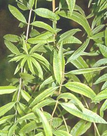 lemon verbena-Uses: Leaves retain their strong lemon scent for 2-3 years. Infuse as a refreshing tea and to soothe bronchial and nasal congestion, indigestion and nausea. Add a leaf to a jar of apple jelly, add to fruit drinks, place pieces of leaf in ice cube trays for flavored ice. Use leftover tea as cold compress for puffy, tired eyes. Use leaf to scent cupboards, linens, paper, potpourri, sachets, candles.