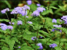 Blue Mistflower.                           Conoclinium Coelestinum