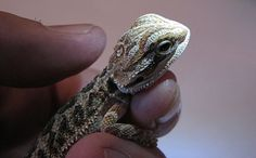 Baby Bearded Dragon - What You Need To Know