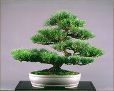 "JAPANESE BLACK PINE, Pinus thunbergiana    Style: Moyogi 26"", (66cm)    Grown from 1-gal. nursery stock"