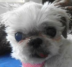 Meet Mags a Petfinder adoptable Shih Tzu Dog | Chesterfield, MO | Mags is an 8-10 year old shih tzu who is looking for a new forever home.  She was found as a stray...