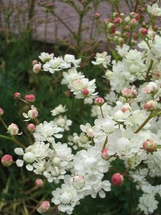 Filipendula vulgaris 39 Multiplex 39 Knolspirea - Früchte im Garten Garden Arbor, Garden Paths, Outdoor Plants, Outdoor Gardens, Beautiful Gardens, Beautiful Flowers, Exotic Flowers, Garden Cottage, Prairie Garden