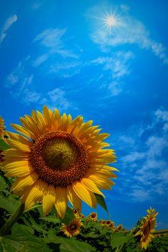 Blue Skies & Sunflowers!