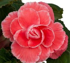 Begonia Bulbs (On Top) - Melon Lace