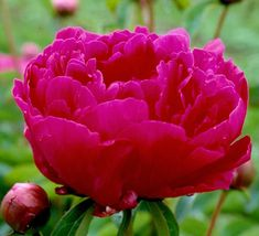 Bunker Hill - Rosy Red Double Peony/ Paeonia lactiflora - Kelways