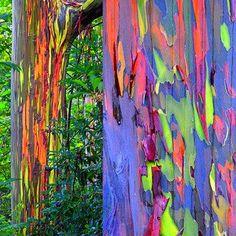 who sells Eucalyptus deglupta trees | ... 161084982/rainbow-eucalyptus-deglupta-showy-rare?ref=shop_home_active