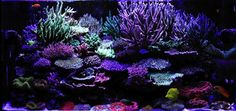 Eric Yao's vivid SPS reef tank.