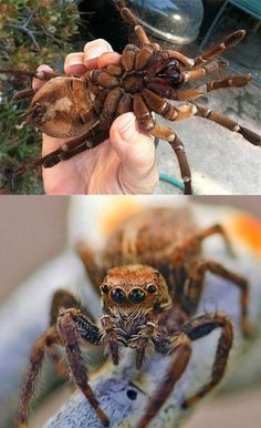 World's SECOND largest Spider, The Goliath Bird Eating Spider! It's NOT the biggest. That award goes to the giant huntsman spider, a friend of Australia's.