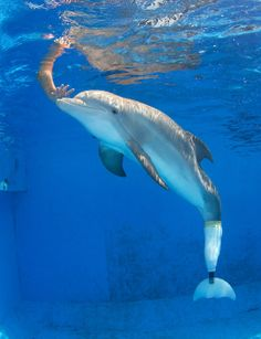 Winter the Dolphin at the Clearwater Marine Aquarium