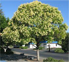 Alfeneiro – Ligustrum lucidum – Uma das espécies mais cultivadas na arborização urbana do sul do Brasil.