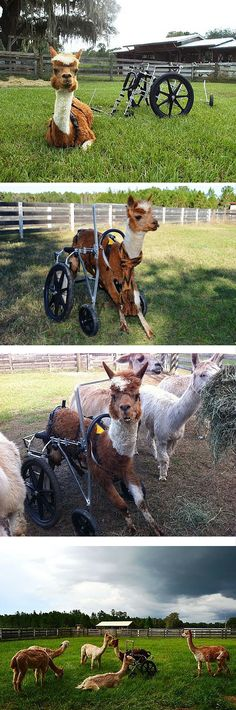 Michelle was rescued with a herd of other alpacas needing a loving home, but Michelle's needs were exceptional: It's thought she was injured by a horse, and her back legs were totally crippled. But now with help from Red Flyer and Eddie's Wheels she rolls pretty well with the crowd.