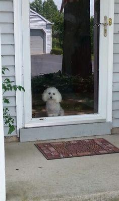 My Maltichon, Bella, waiting for me.