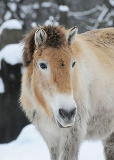 It's still debated if Przewalski, the last real wild horse is… Rare Horse Breeds, Brookfield Zoo, Cut Animals, In The Zoo, Beautiful Horses, Beautiful Babies, Snow Dogs, Wild Mustangs, Wild Horses
