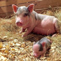 "@piggy_friendly_ on Instagram: ""Pig is a good friend ! Tag the friend who loves pig below. #piggylove #piggies #piglet #minipig #piglets #pigsarefriendsnotfood…"" Cute Baby Pigs, Cute Babies, Best Friend Tag, Best Friends, Piglet, Teacup Pigs, Farm Photography, Mini Pigs, V Cute"