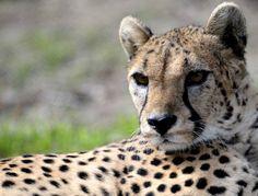 Regard perçant pour cette jolie femelle guépard au zoo d'Olomouc (République tchèque).