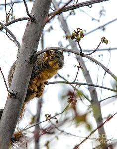 """Squirrel.     (""""Up The Tree Photograph by Robert Bales."""")                                      Press """"Visit"""" to see other images in this collection (from which I pinned all the images I wanted) by the wonderful photographer Robert Bales of hot air balloons, birds, flowers, mammals, natural scenery, et al."""