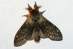 Lobster Moth - Stauropus fagi