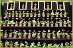 RHS Chelsea Flower Show    A sweet display of Primula Auricula. A winner at the show and crowded with people like no other booth to purchase the flowers. To read more: http://floatingpetals.net/the-rhs-chelsea-flower-show-part-ii/