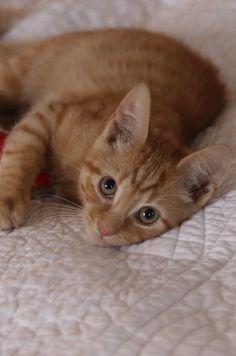 Billy the ginger kitten