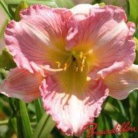 Hemerocalle : PINK FLIRT
