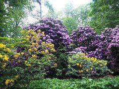Azalie i rododendrony ech przepiękne królewskie rośliny szkoda że tak szybko przekwitają... . . #rytmynatury#Książ#park#ogród#rododendron#rododendrony#różanecznik#różaneczniki#ogród#las#drzewa#krzewy#natura#nature#kochamnature#ilovenature#flower#flowers#garden #gardening#plants#jardin #botanical#gardenlife#floweroftheday#flowermagic . . Gardening, How To Plan, Park, Plants, Instagram, Lawn And Garden, Parks, Plant, Planets