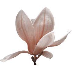 feli_la_flower1.png ❤ liked on Polyvore featuring flowers