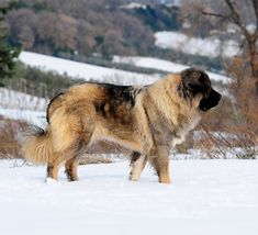 Is the Russian Bear Dog a good family pet? We look at the pros and cons of life with a Caucasian Shepherd Massive Dogs, Big Dogs, Dogs And Puppies, Giant Dogs, Smart Dog Toys, Cute Dog Toys, Russian Bear Dog, Caucasian Shepherd Dog, Dogs
