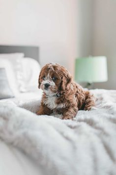 Do you have stinky pet urine smells and stains in your carpet? Immaculate Home Chem-Dry professionally removes pet urine stains and odors! Cavapoo Puppies, Cute Puppies, Cute Dogs, Goldendoodles, Puppy Images, Puppy Pictures, New Puppy Checklist, Brown Puppies, Rare Animals