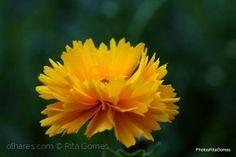 Cravo Amarelo
