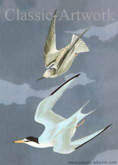 By John James Audubon, birds in flight against a blue grey sky. Classic fauna. Ornothology, Birds of America, Seagulls. New, high resolution print, for sale. € .Nytryck, till salu. Från Audubons bilder av Amerikanska fågelarter. Måsar i flykt.