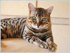ベンガル猫・ブリティッシュショートヘアーのブリーダー キャッテリーナカネセイ