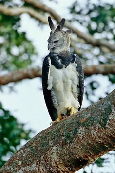 "Harpy Eagle (Harpia harpyja) perched on an emergent ""Shihuahuaco"" tree (Dipteryx sp.) in lowland tropical rainforest, Tambopata Reserve, Madre de Dios, Peru. By Andre Baertschi."