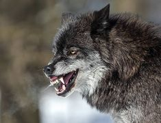 Which 'Teen Wolf' Creature Is Your Personality? Wolf Photos, Wolf Pictures, Wolf Spirit, Spirit Animal, Wolf Growling, Snarling Wolf, Wolf Hybrid, Angry Wolf, Wolf Face