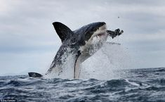 Photographer Dana Allen took some insane photos of great white sharks off the coast of South Africa. Below is my favorite. Check out the flying tooth. Some amazing Great White Shark photos Great White Shark Attack, All Sharks, Shark Photos, The Great White, Photos Of The Week, Ocean Life, The Guardian, Under The Sea, Mammals