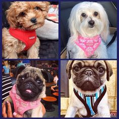 DOGUE Style! Check out these dogs rocking their new harnesses!
