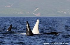 Wildlife Photographer Captures The Appearance Of Exceptionally Rare Albino Orca