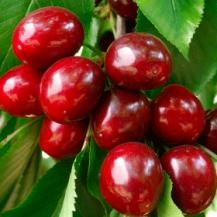 how to grow cherry trees from seed in australia