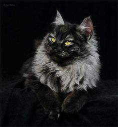 My heart still aches for my magnificent, gentle giant, Norwegian Forest Cat, Dashiell. He lived to be 18 years old, and I still miss him every single day. If you ever get a chance to adopt one, these enormous cats (mine was 30 inches long from nose to tail, and weighed not quite 30 lbs) have calm, loving temperaments, are highly intelligent, and make great family pets.