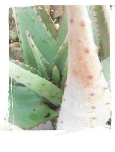 Aloe Pastels, Aloe, Plant Leaves, Plants, Plant, Planets, Aloe Vera