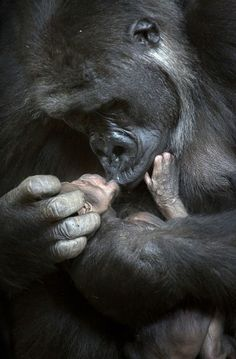 Chelewa the gorilla and her baby, Cabrceno Wildlife Park in Cantabria, Spain. Photos by Marina Cano. Primates, Mammals, Cute Baby Animals, Animals And Pets, Wild Animals, Strange Animals, Animals Images, Nature Animals, Beautiful Creatures