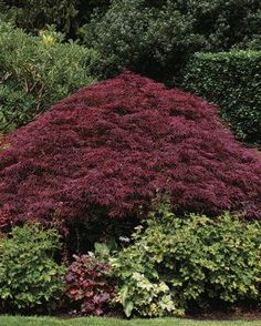 """Pruning Japanese Maples. Laceleaf-maple pruning is often called """"shell pruning"""" because, when done correctly, the top layer of branches forms a protective veil of foliage over the plant that resembles a shell.   Fine Gardening"""