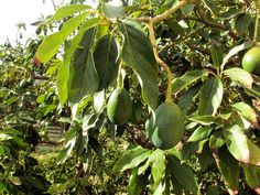 How to grow Avocado Tree Avocado Leaves, Avocado Plant, Avocado Seed, Avocado Facts, Growing An Avocado Tree, Growing Tree, Organic Gardening, Gardening Tips, Sustainable Gardening