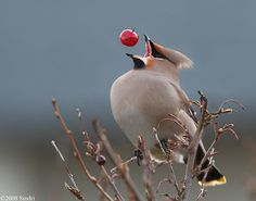 waxwing tossing back a berry