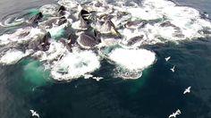 Humpback Whales Bubble Feeding Drone Views on Vimeo