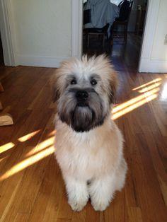 Wheaten Terrier Puppy, I'm Sad, Family Dogs, Terriers, Dog Love, Cute Puppies, Doggies, Chloe, Irish